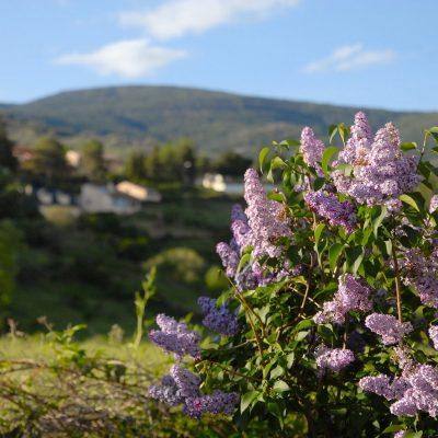 Lilas en la Sierra Norte