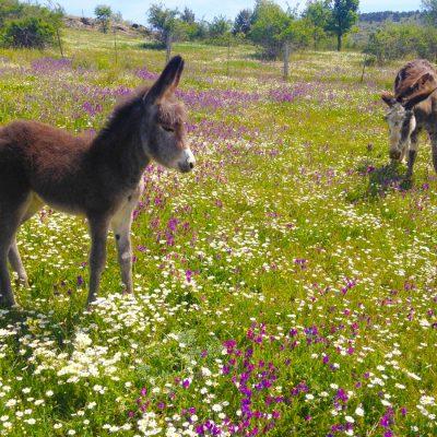 Paseo-en-burro-el-capriolo11