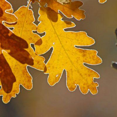 Hojas-otoño-el-capriolo